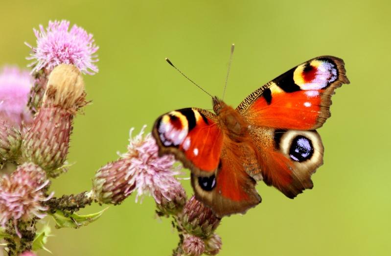 Papillon paon de jour dans fleurs de chardon Img_9411