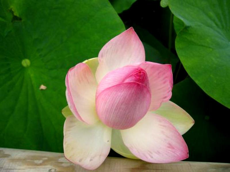 LUB NTIAJ TEB CHAW ZOO NKAUJ Lotus_12