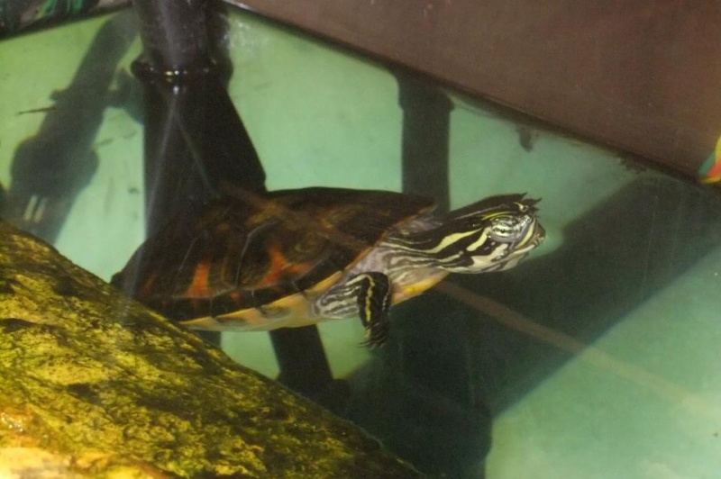 Mes tortues (Marjorie) - Page 2 32024411