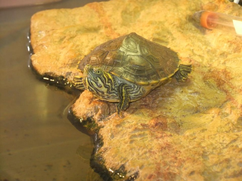 Mes tortues (Marjorie) - Page 2 32024412