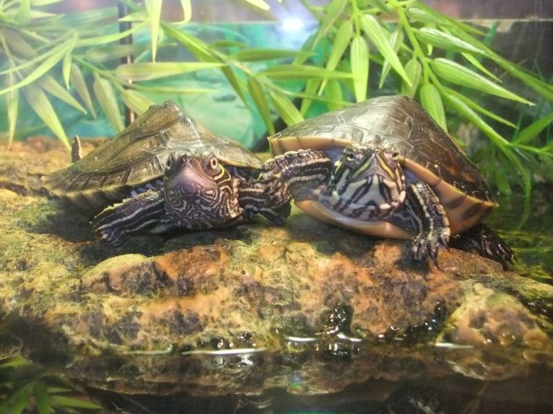 Mes tortues (Marjorie) Dscf3615