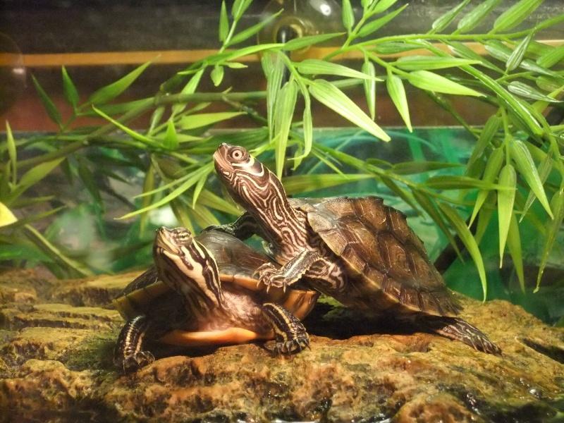Mes tortues (Marjorie) Dscf3710
