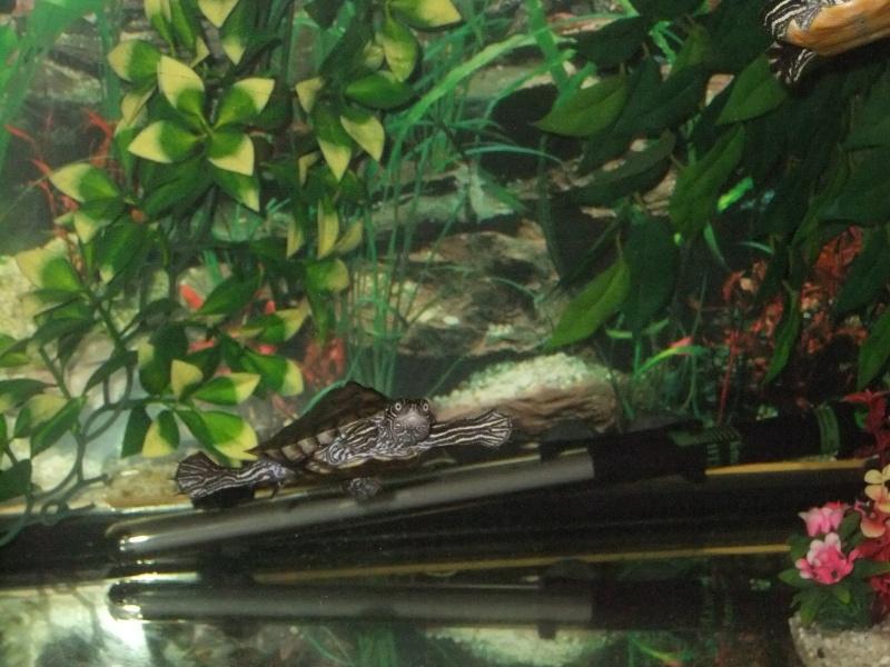Mes tortues (Marjorie) Dscf3910