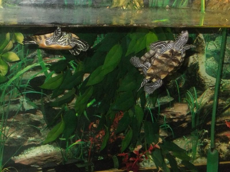 Mes tortues (Marjorie) Dscf3911