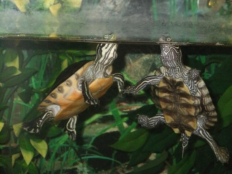 Mes tortues (Marjorie) Dscf3912