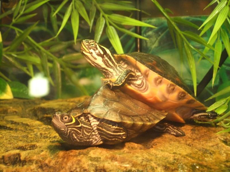 Mes tortues (Marjorie) Dscf4011
