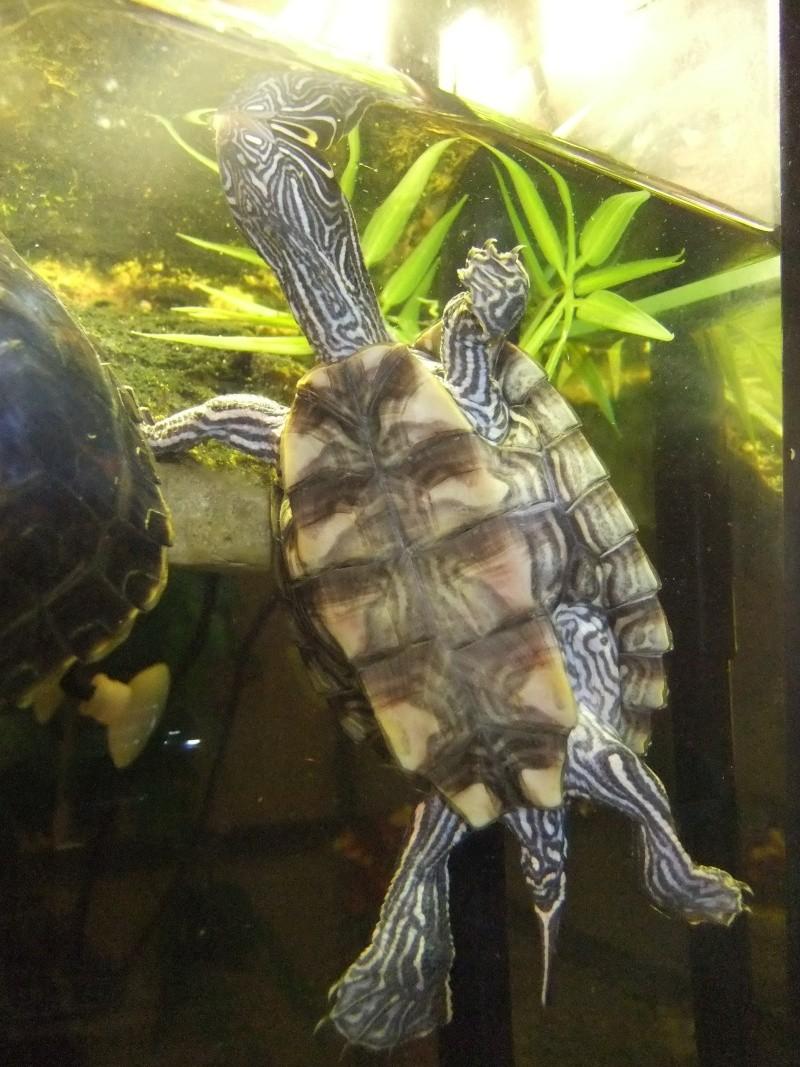 Mes tortues (Marjorie) Dscf4012