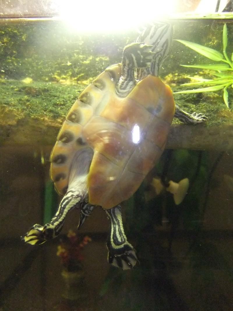 Mes tortues (Marjorie) Dscf4015