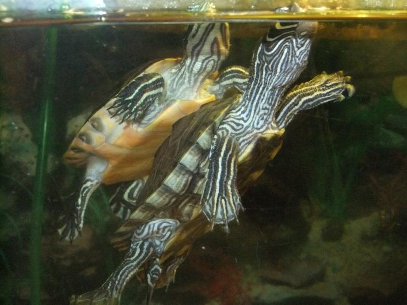 Mes tortues (Marjorie) Dscf4017