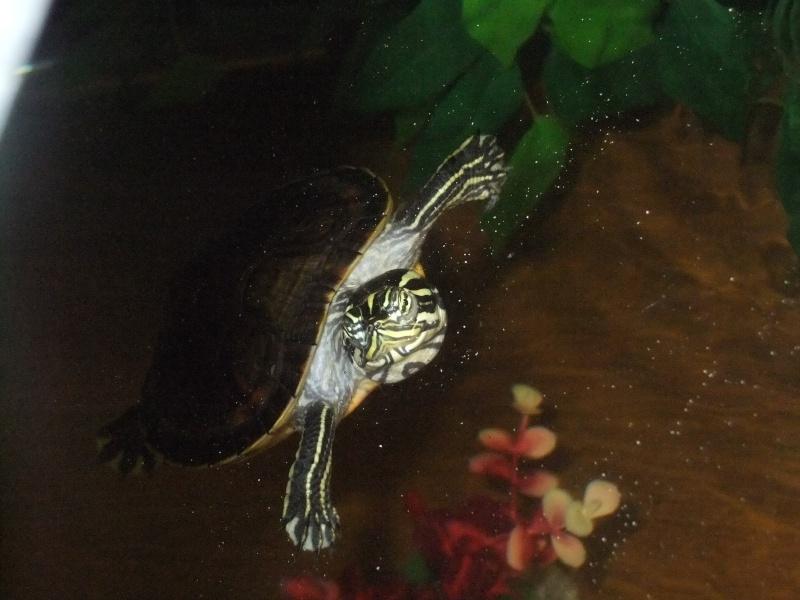 Mes tortues (Marjorie) Dscf4018