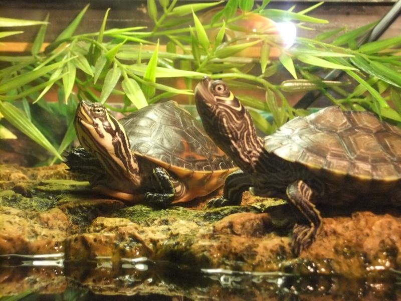 Mes tortues (Marjorie) Dscf4110
