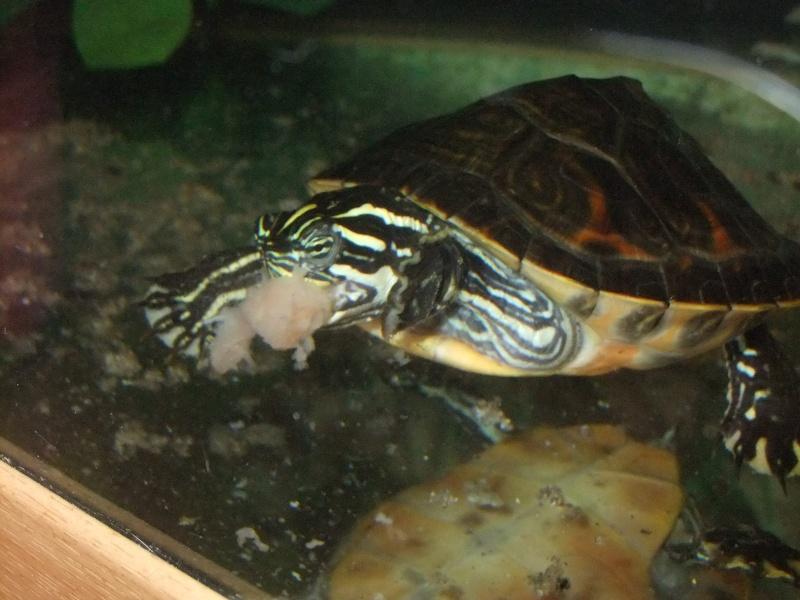 Mes tortues (Marjorie) Dscf4111