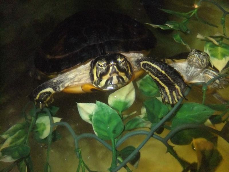 Mes tortues (Marjorie) Dscf4112
