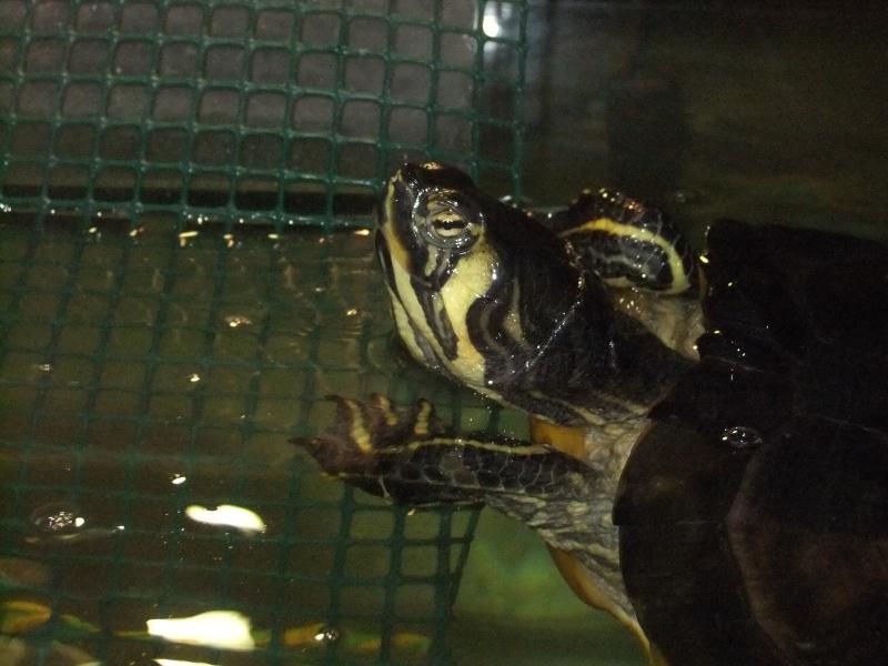 Mes tortues (Marjorie) Dscf4113