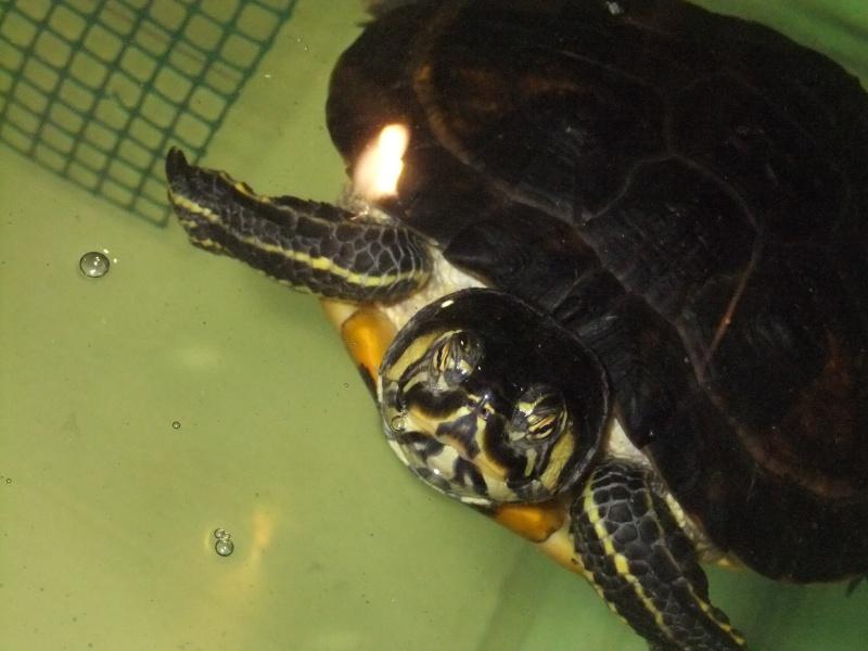 Mes tortues (Marjorie) Dscf4114