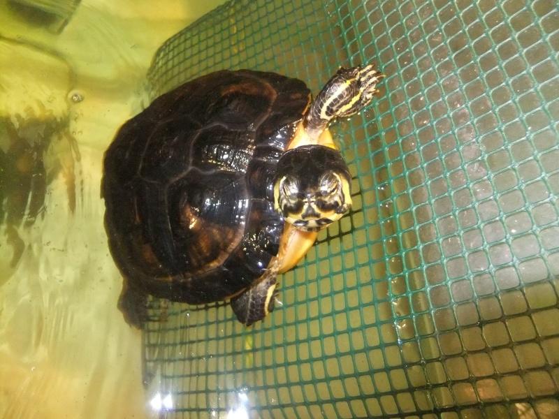 Mes tortues (Marjorie) Dscf4115