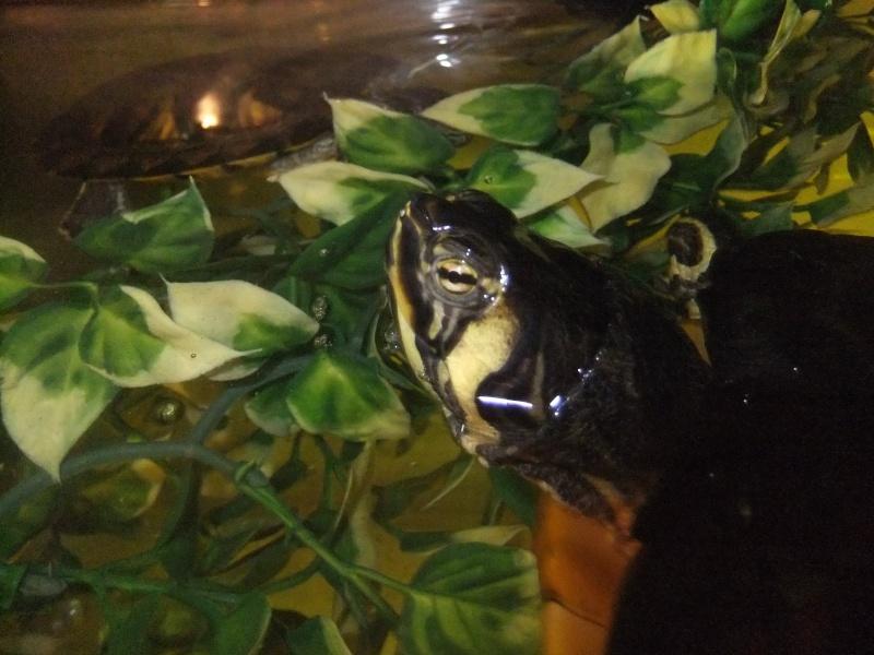 Mes tortues (Marjorie) Dscf4116