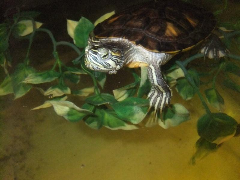 Mes tortues (Marjorie) Dscf4118