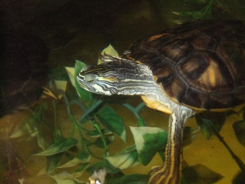 Mes tortues (Marjorie) Dscf4120