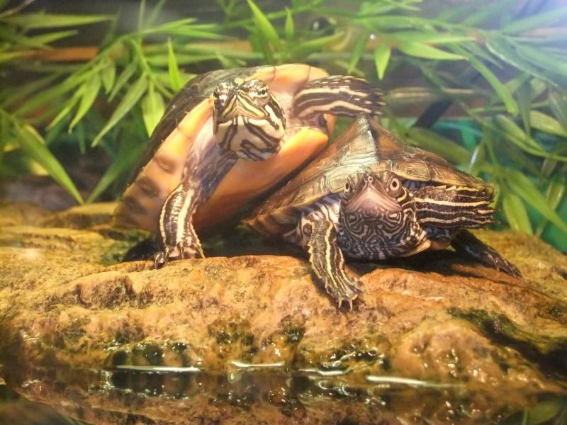 Mes tortues (Marjorie) Dscf4121