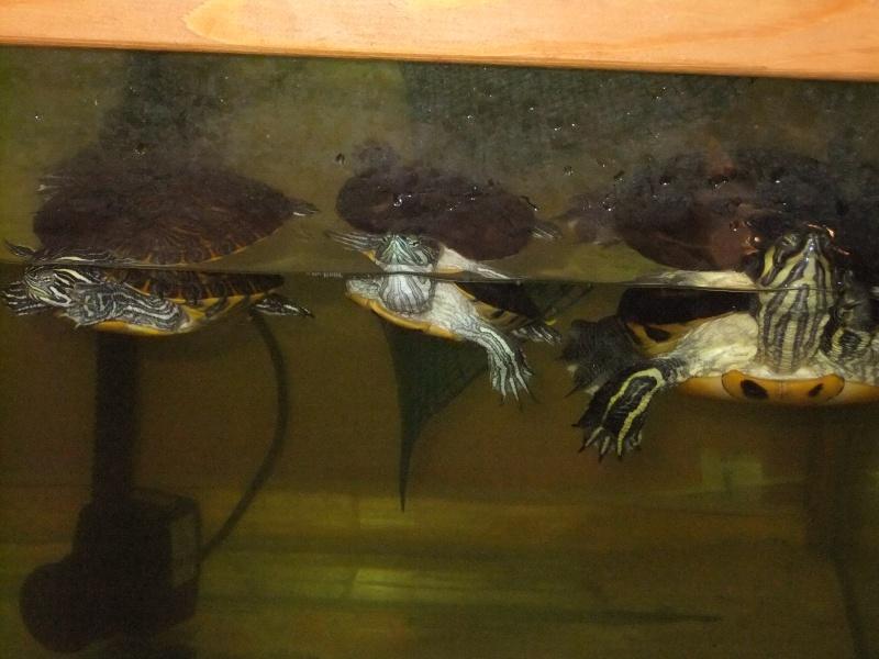 Mes tortues (Marjorie) - Page 2 Dscf4413