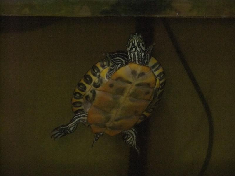 Mes tortues (Marjorie) - Page 2 Dscf4521