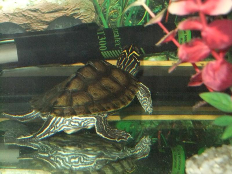 Mes tortues (Marjorie) - Page 2 Dscf4612