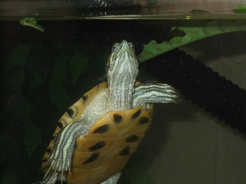 Mes tortues (Marjorie) - Page 2 Dscf5524