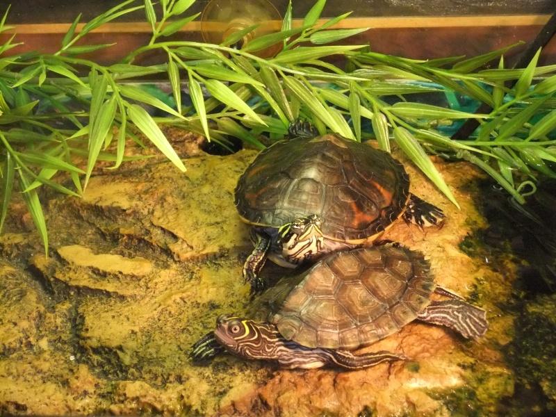 Mes tortues (Marjorie) - Page 2 Dscf5810