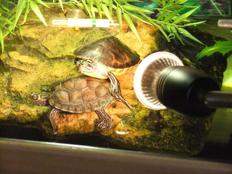 Mes tortues (Marjorie) - Page 2 Dscf5811