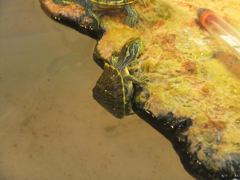 Mes tortues (Marjorie) - Page 2 Dscf6417