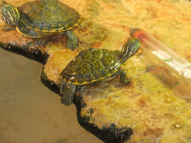Mes tortues (Marjorie) - Page 2 Dscf6419