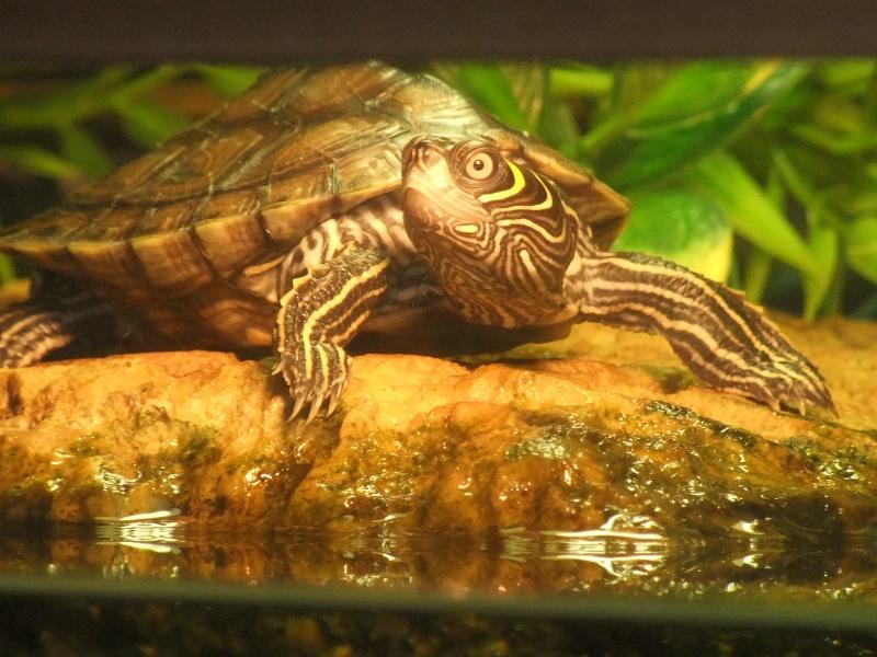 Mes tortues (Marjorie) - Page 2 Dscf7115
