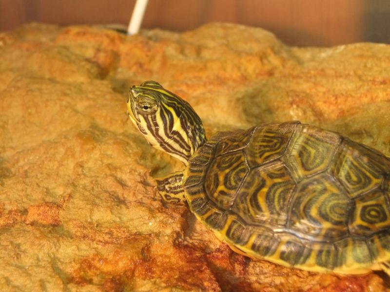 Mes tortues (Marjorie) - Page 2 Dscf7117
