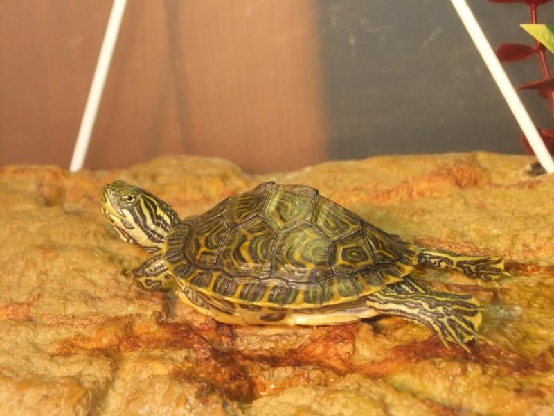 Mes tortues (Marjorie) - Page 2 Dscf7118