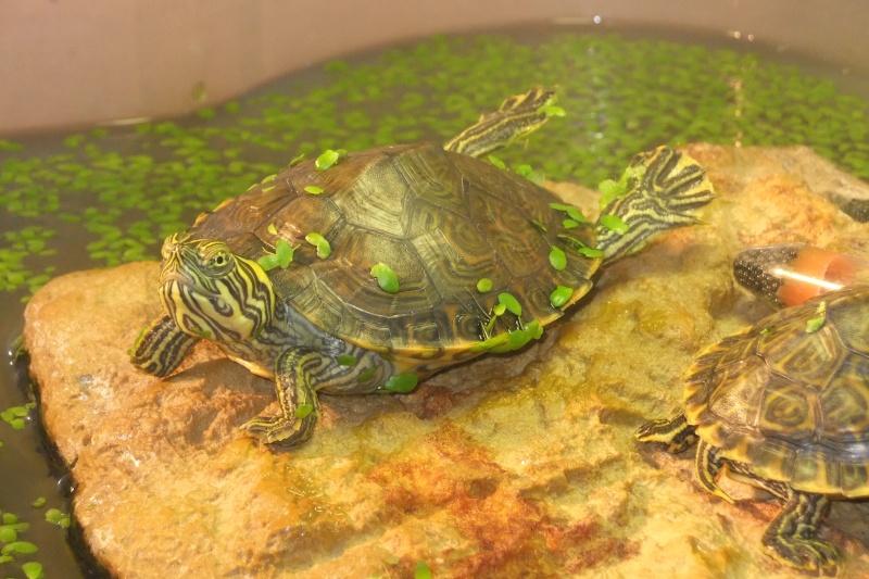 Mes tortues (Marjorie) - Page 2 Dscf7715