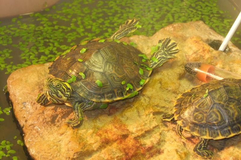 Mes tortues (Marjorie) - Page 2 Dscf7716
