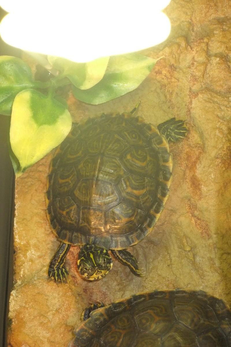 Mes tortues (Marjorie) - Page 3 Dscf8122