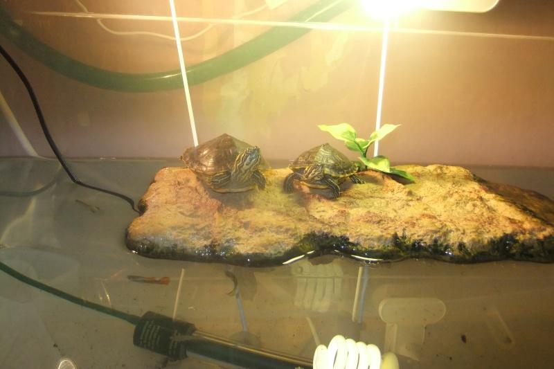 Mes tortues (Marjorie) - Page 3 Dscf8123