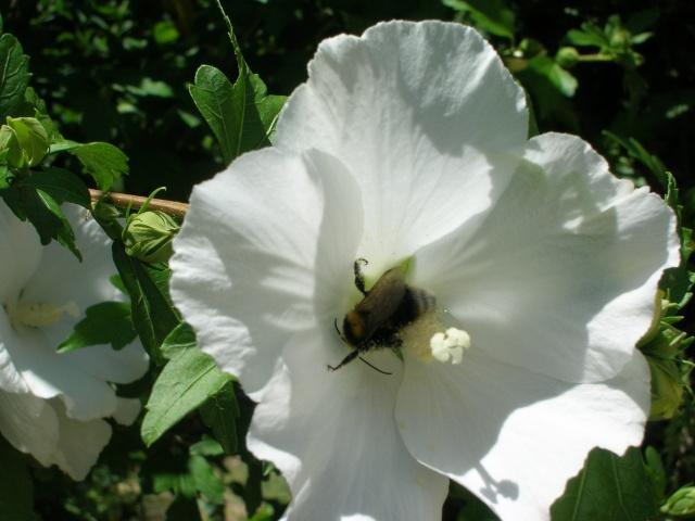 15 - Concours macro insectes ... Juillet 2011. Gambus10
