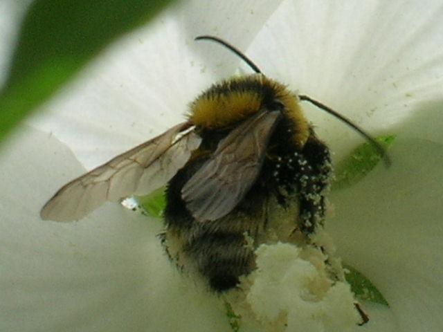 15 - Concours macro insectes ... Juillet 2011. Gambus11