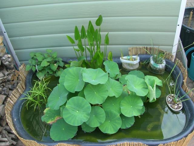 les graines de lotus de kiko - Page 3 Lotus_13