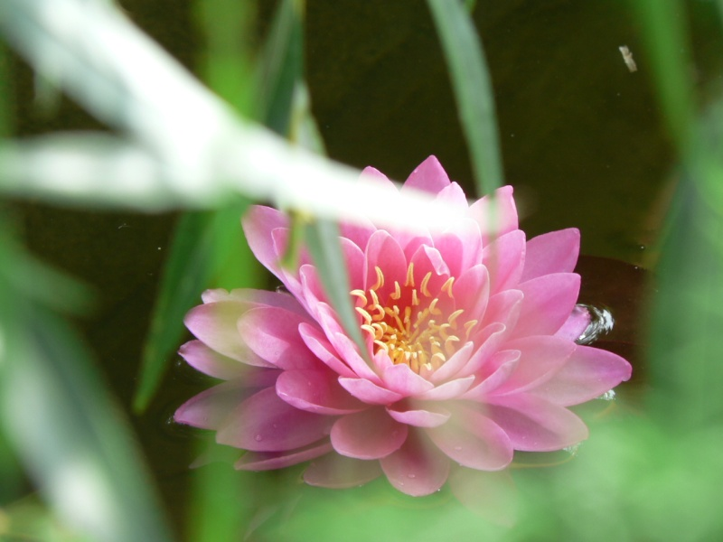 LA PLANTATION DU  RHIZOME DE LOTUS Lotus_16