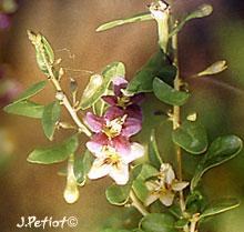 Arbuste de baie de Goji - Page 2 Lycium10