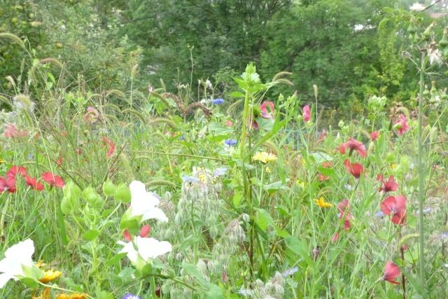 Favorisons les jachères florales ! P1020513