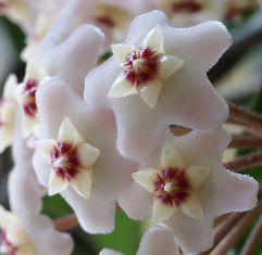 Hoya carnosa  -hoya_10