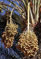 semis de palmiers 170px-10