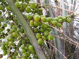 semis de palmiers 320px-11