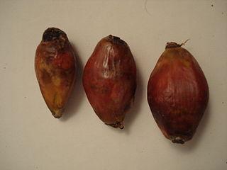 semis de palmiers 320px-14