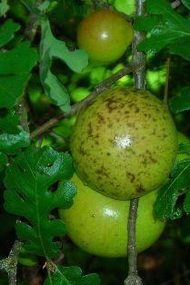 Quercus - galle du chêne [devinette] 399px-11
